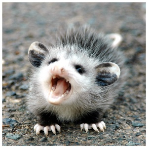 "Possums are the working definition of ""conditionally cute""."